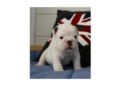 bellissimi cuccioli bulldog inglese