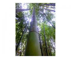 Canne di bambù bambu diametri da 2 a 10 cm vendesi.